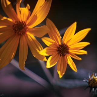 Sunny Helianthus