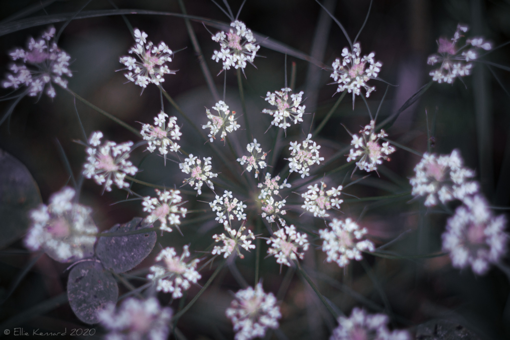 Wild Carrot, Queen Anne's Lace