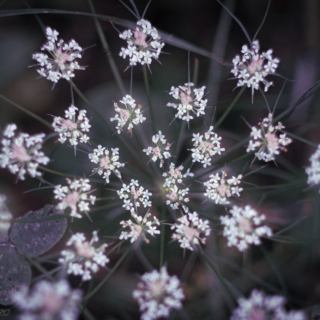 Wild Carrot, Queen's Anne's Lace