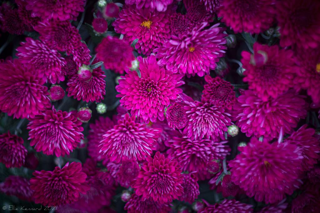 Jam packed chrysanthemums