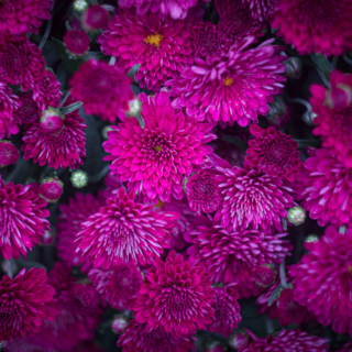 Jam packed chrysanthemums