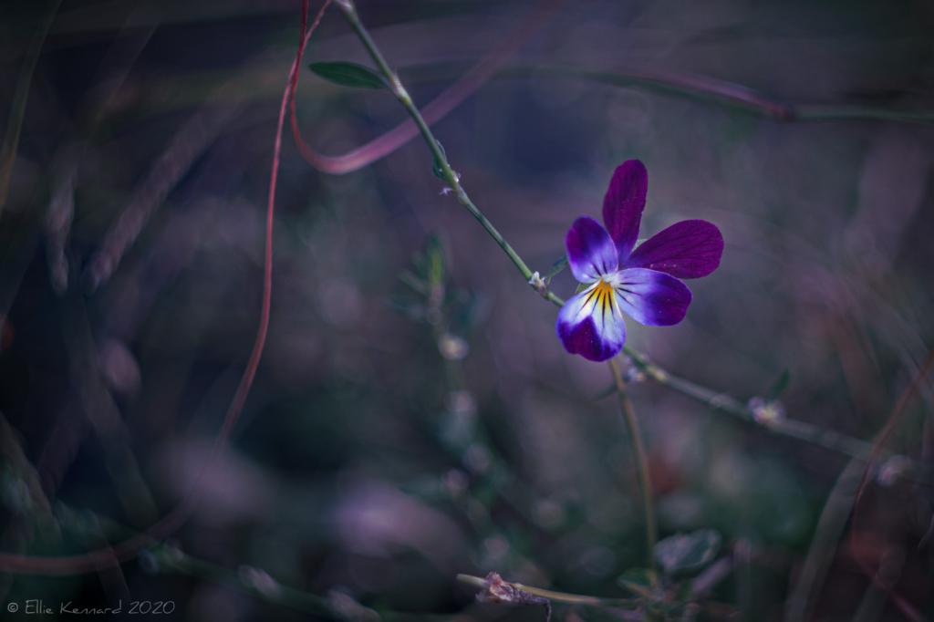 Tri-colour Viola, Johnny Jump-up