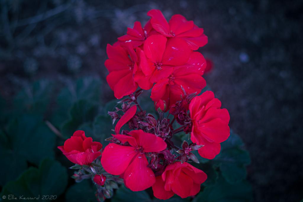 Red Pelargonium