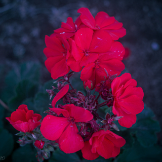 Red Palargonium