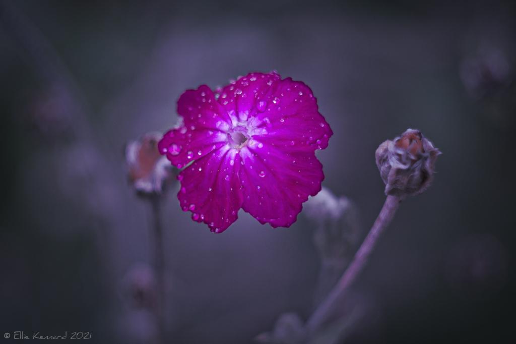Dianthus After Rain