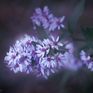 Pink Centred Asters