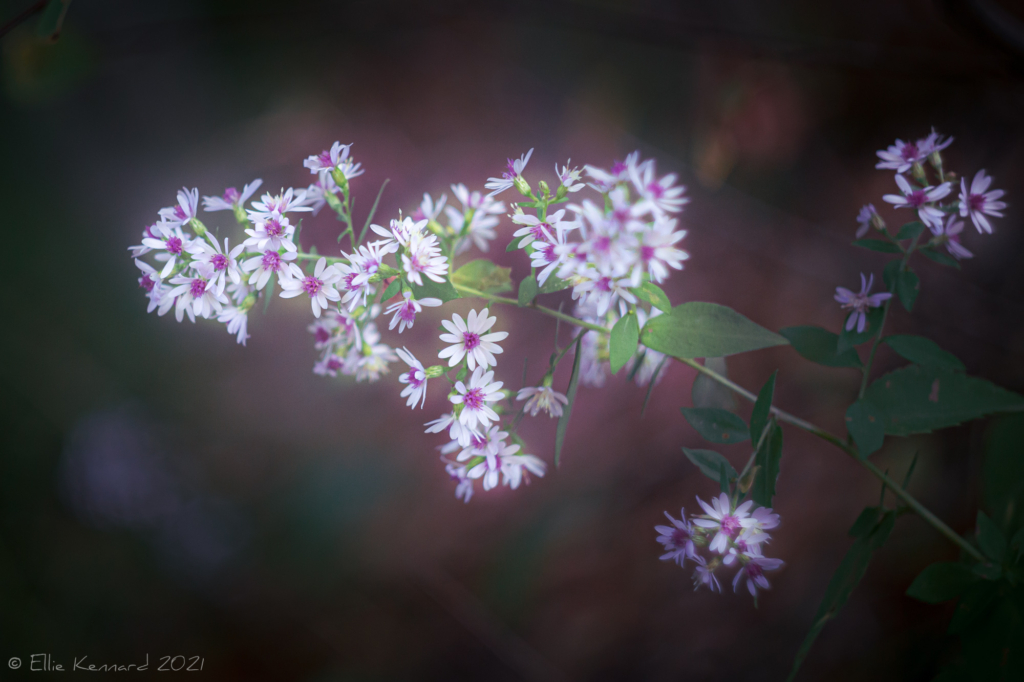 Pink Centered Asters
