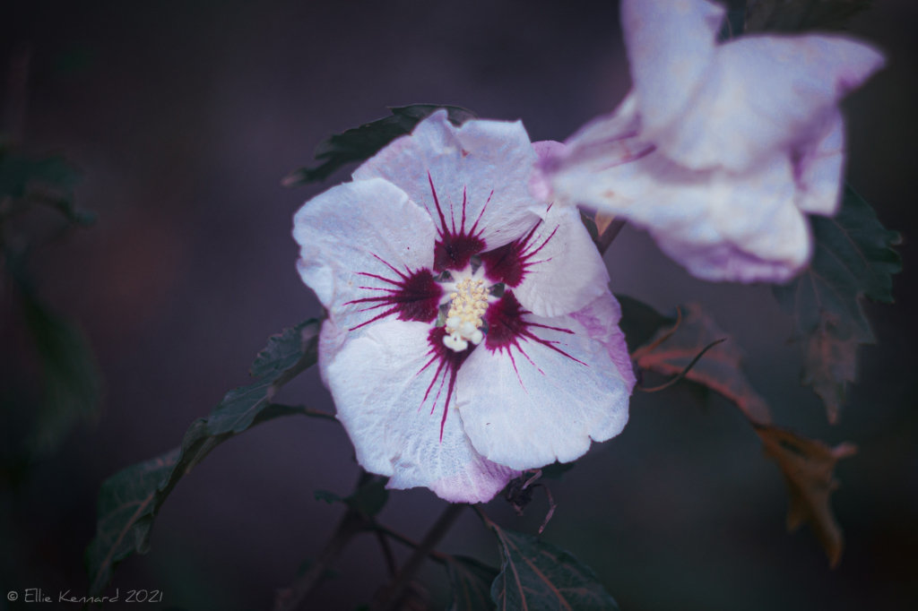 Pale Rose of Sharon