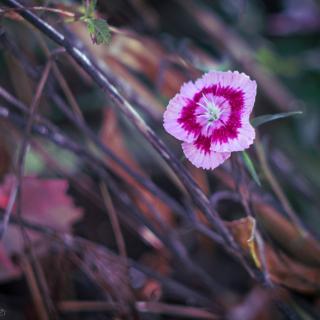 Sweet William, Dianthus