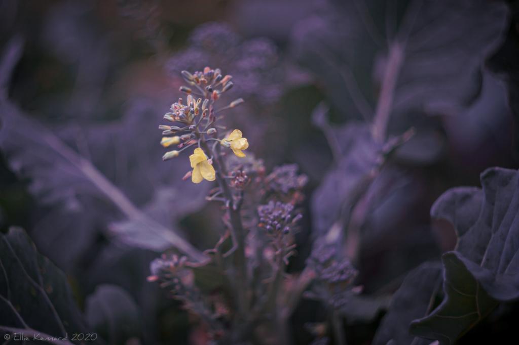 Broccoli flower