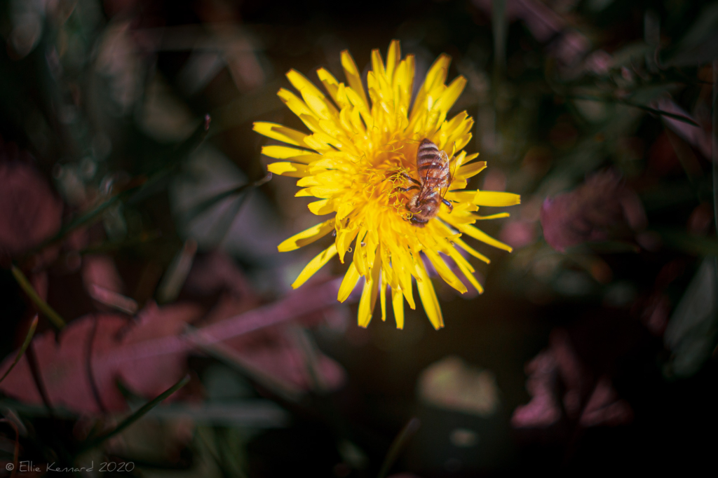 Sow thistle with bee