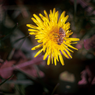 Sowthistle with bee