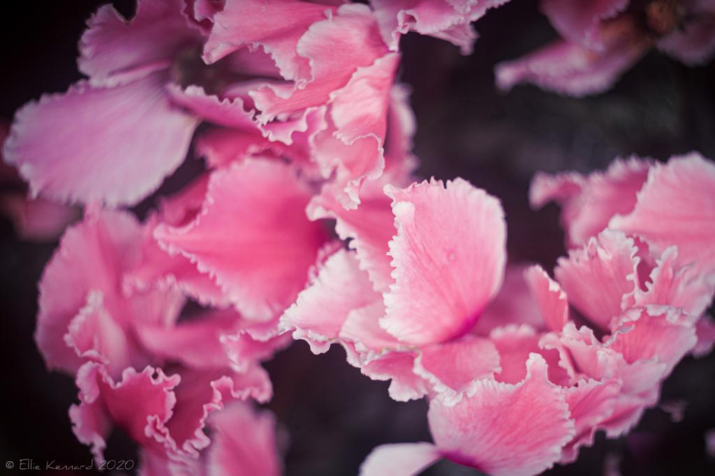 Cyclamen Petals