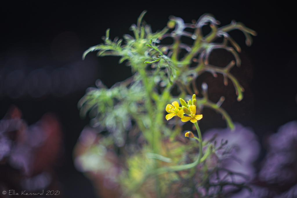 Mizuna Mustard flower
