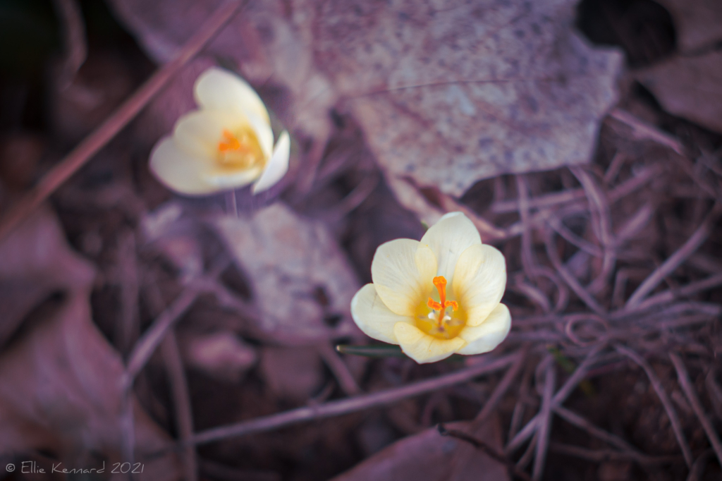 Golden Crocus