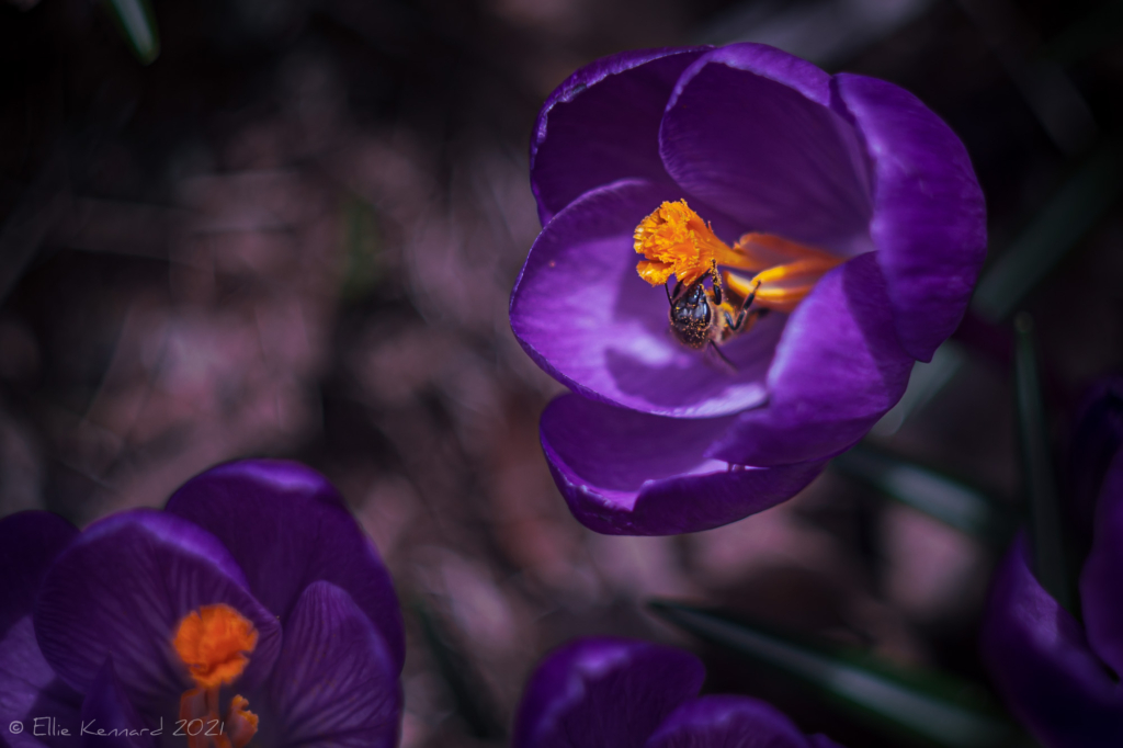 Purple crocus and bee