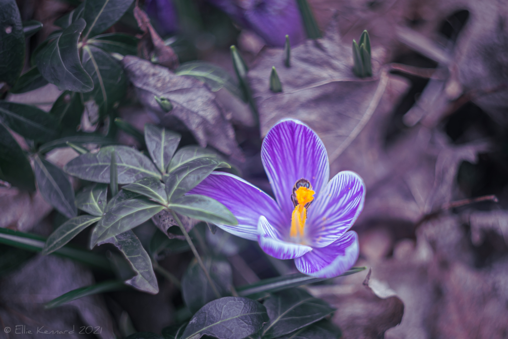 Striped crocus and Bee