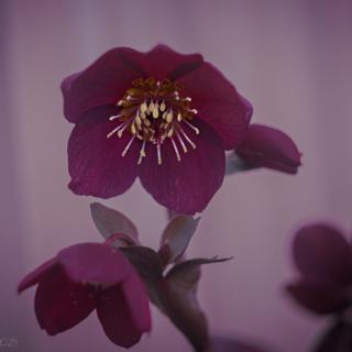 Ice N Roses Red Lenten Rose