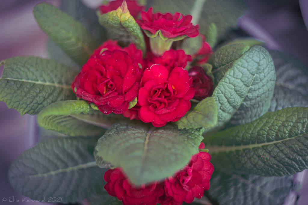 Belarina Valentine double primrose