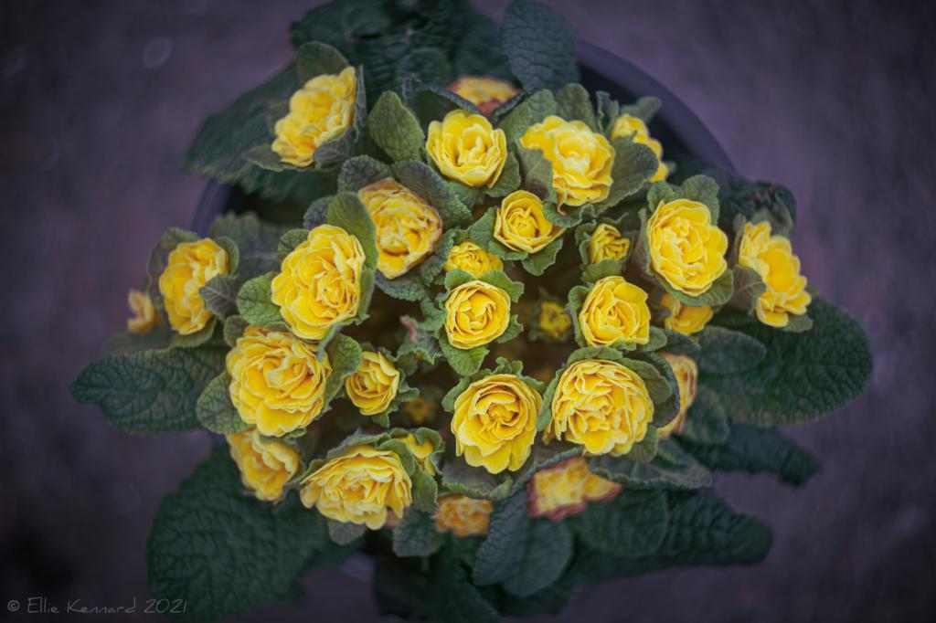 Belarina Buttercup (Kerbelbut) double primrose