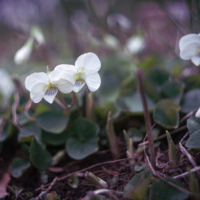 White Woodland Viola
