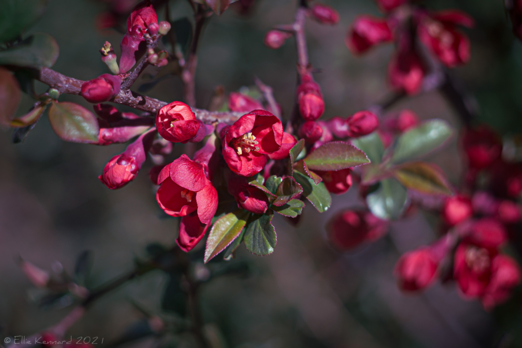 Japonica blossom