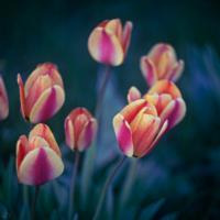 Yellow, orange tulips