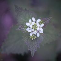 Lunaria Rediviva, Perennial Honesty