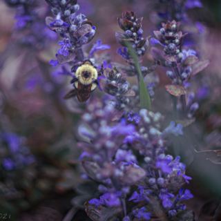 Bumblebee on Bugle