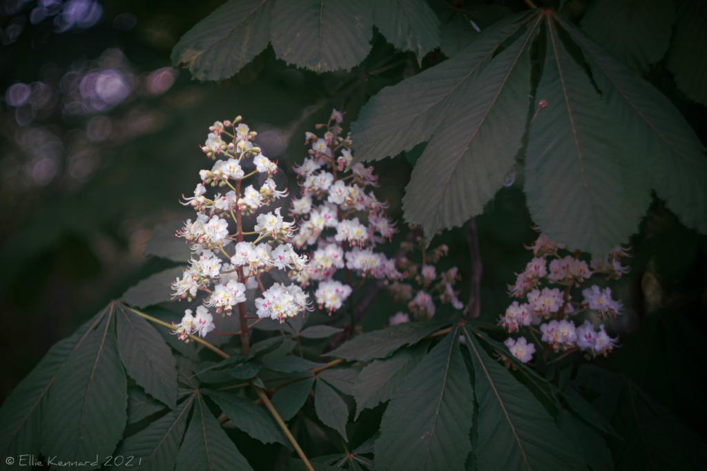 Horse Chestnut, Aesculus Hypocastanum flowers