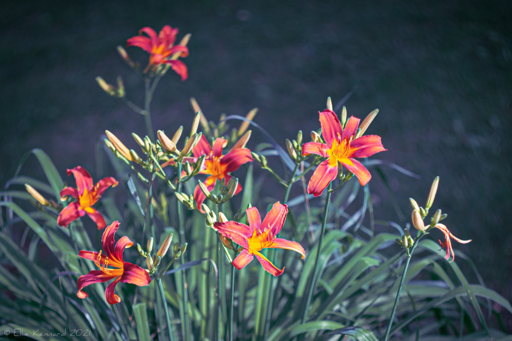 First Day Lilies