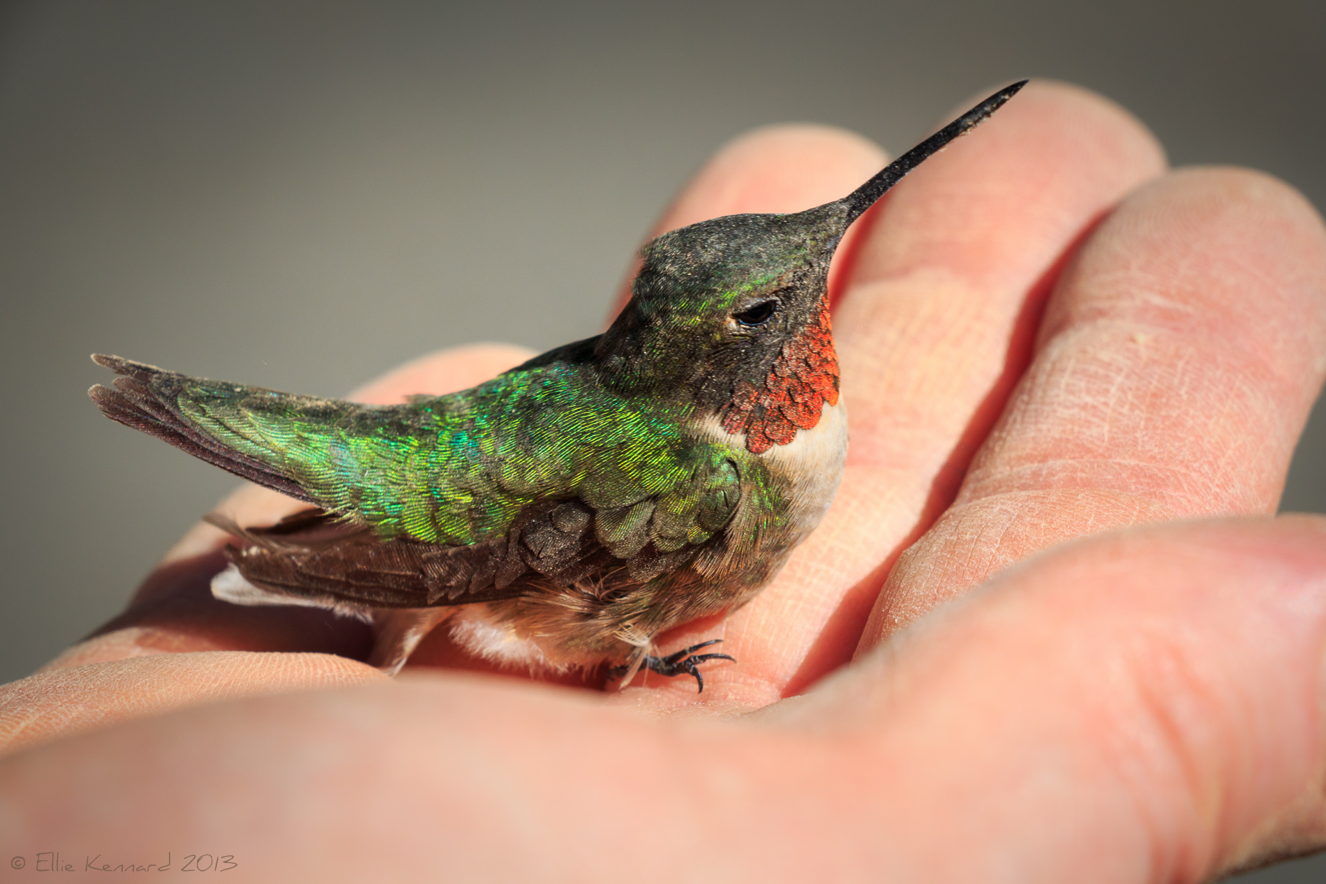 Hummingbird About to Take Off