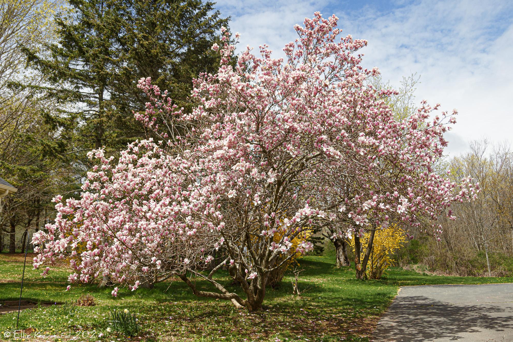 Magnolia Tree 2021
