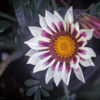 Gazania Rigens, Treasure Flower