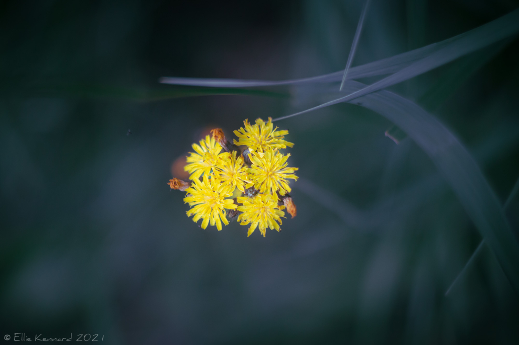 Pilosella - Fox and Cubs