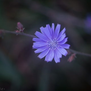 Hairless blue sow-thistle