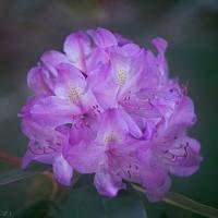 Pink Rhodedendron