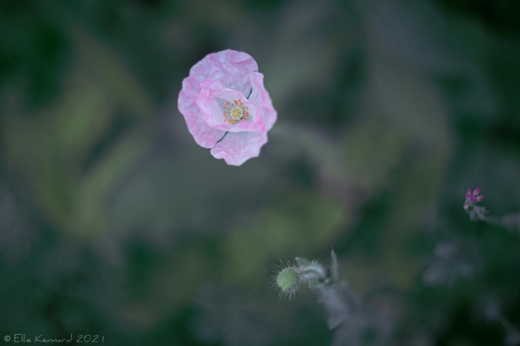 Papery Pink Poppy