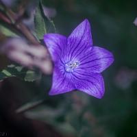 Chinese bellflower, campanula, or Flax