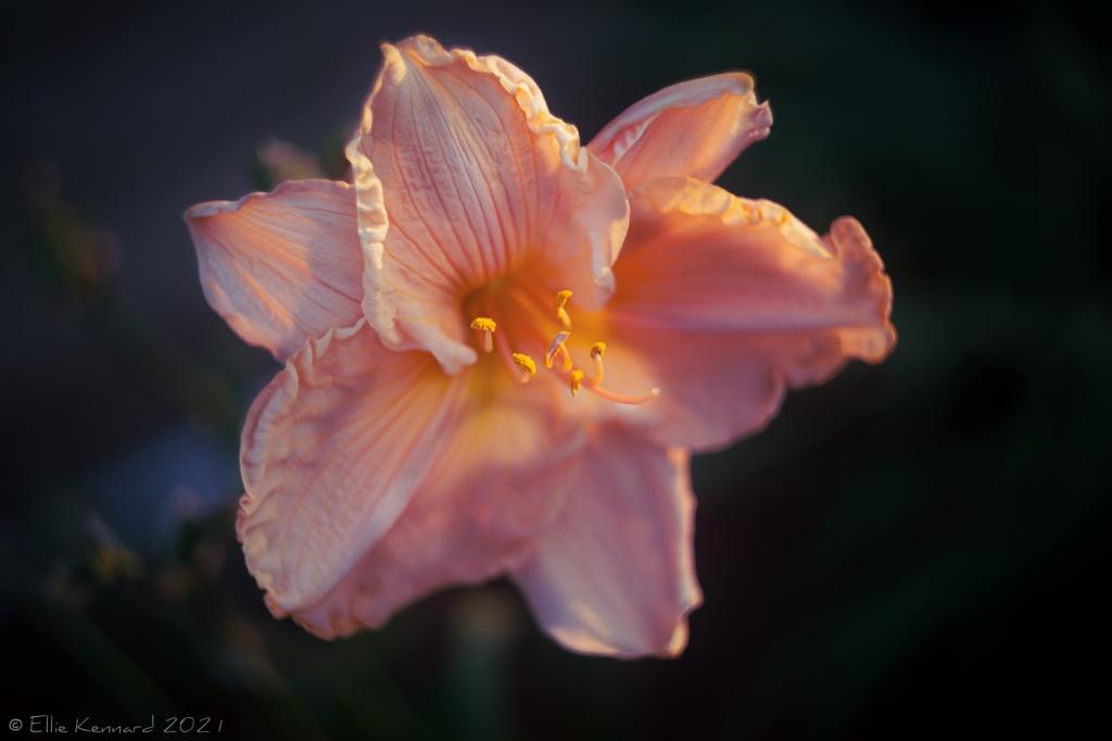 Evening Daylily
