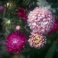 Chinese Asters