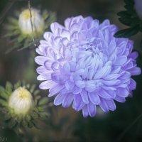 Blue Chinese Aster