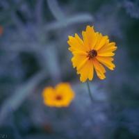 Garden Coreopsis