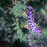 Vetch with skipper butterflies