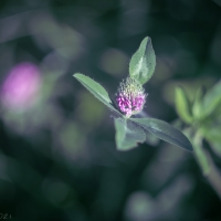 Early clover