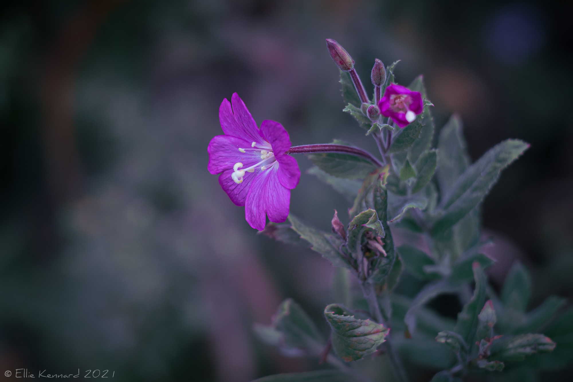 """Willow-Herb""""/"""