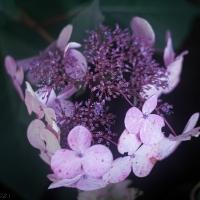 Hydrangea Sardentiana Rehder Buds