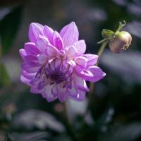 Purple Edged Dahlia