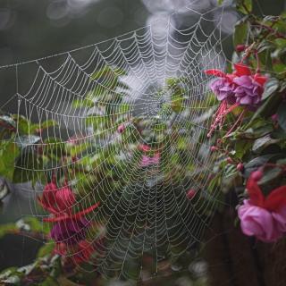 Spider Web and Fuschias